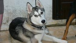 Gayah, chien Husky sibérien