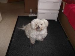 Prisca, chien Coton de Tuléar