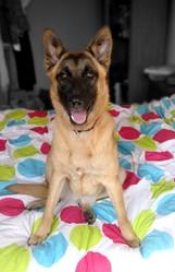 Laika, chien Berger belge
