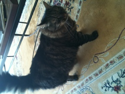 Donald, chat Maine Coon