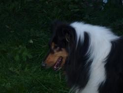 Astuce, chien Colley à poil long