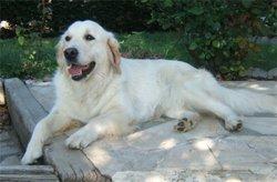 Céleste , chien Golden Retriever