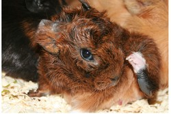 Velours, rongeur Cochon d'Inde