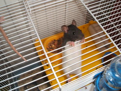 Cookie, rongeur Rat