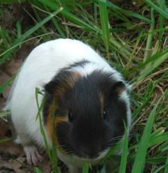 Dinguo, rongeur Cochon d'Inde