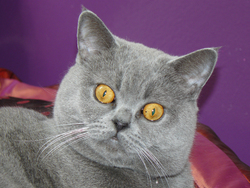 Isis, chat British Shorthair