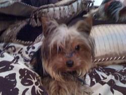 Chiko, chien Yorkshire Terrier