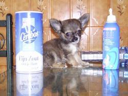 Elfie, chien Chihuahua