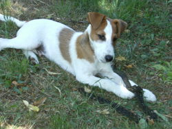 Fausty, chien Jack Russell Terrier