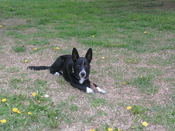 Shane, chien Border Collie