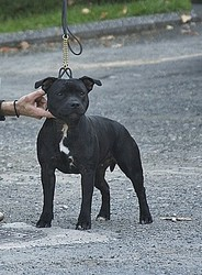 Chanel Cheek, chien Staffordshire Bull Terrier