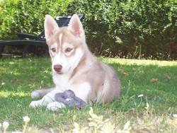 Finess, chien Husky sibérien