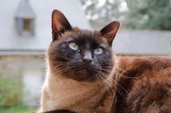 Kemo, chat Siamois