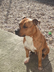 Endo, chien American Staffordshire Terrier