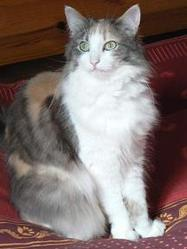 Plume, chat Maine Coon