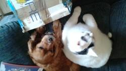 Baba, chien Épagneul français