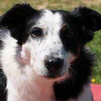 Babka, chien Border Collie