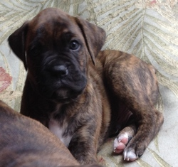 Baboo, chien Boxer