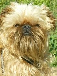 Baboon, chien Griffon bruxellois