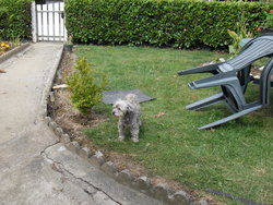 Babou, chien Caniche
