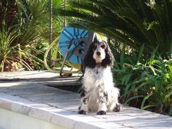 Babou, chien Cocker anglais