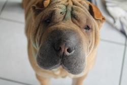 Babou, chien Shar Pei