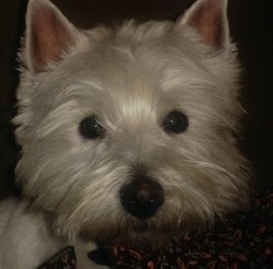 Babou, chien West Highland White Terrier