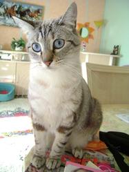 Babou, chat Oriental