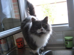Babouche, chat Persan