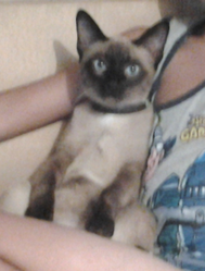 Babouche, chat Siamois