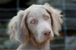 Babouche, chien Braque de Weimar