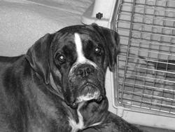 Babouche, chien Boxer
