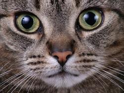 Babouche, chat Européen