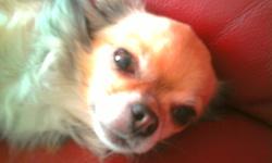 Baboucheka, chien Chihuahua