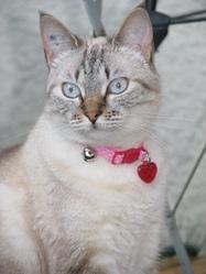 Babouille, chat Européen