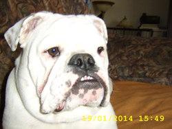 Baboune, chien Bulldog
