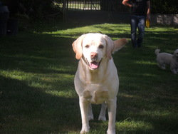 Babsi, chien Labrador Retriever