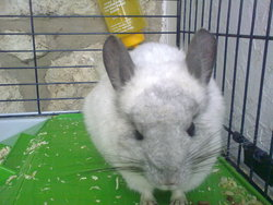Baby, rongeur Chinchilla