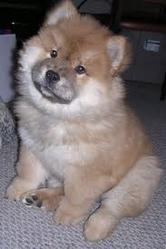 Baby, chien Chow-Chow