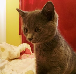 Baby, chat Chartreux