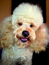 Baby-Claude, chien Caniche