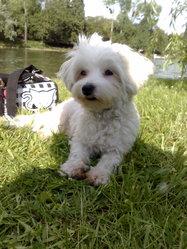 Baby G, chien Bichon maltais