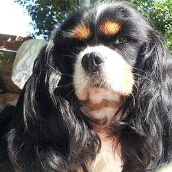 Bacara, chien Cavalier King Charles Spaniel