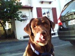 Bacardi, chien Labrador Retriever