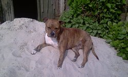 Baccara, chien American Staffordshire Terrier