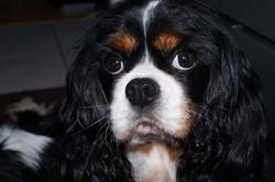 Baccara, chien Cavalier King Charles Spaniel