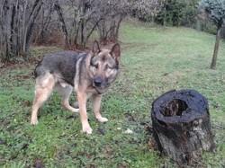 Bacchus, chien Berger allemand