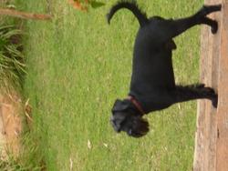 Bacchus, chien Schnauzer
