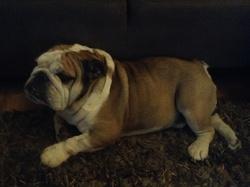 Bacchus, chien Bulldog