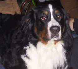 Bacchus, chien Bouvier bernois
